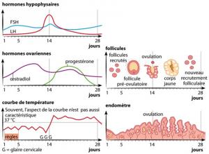 cycle hormonal
